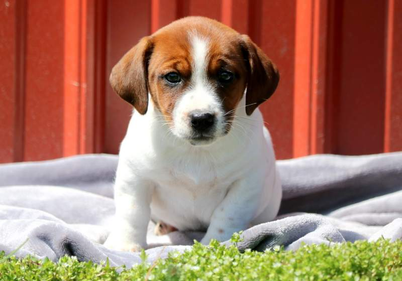 Tom Tom Jack A Bee Puppy For Sale Keystone Puppies