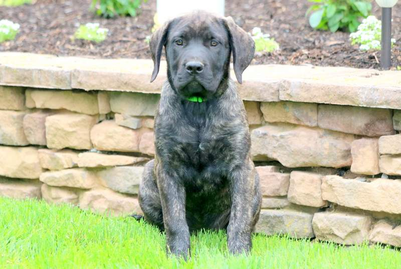 Tootsie Mastiff English Puppy For Sale Keystone Puppies
