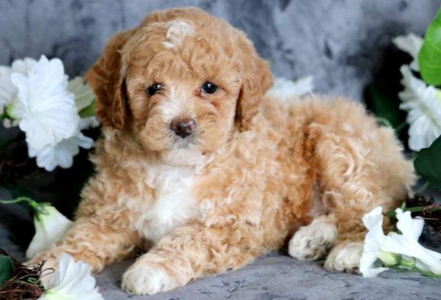 Toy Poodle Category