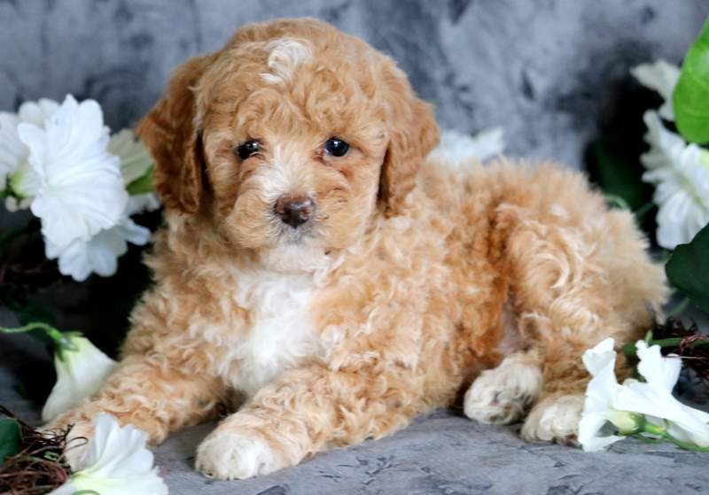 Poodle Toy Puppies For
