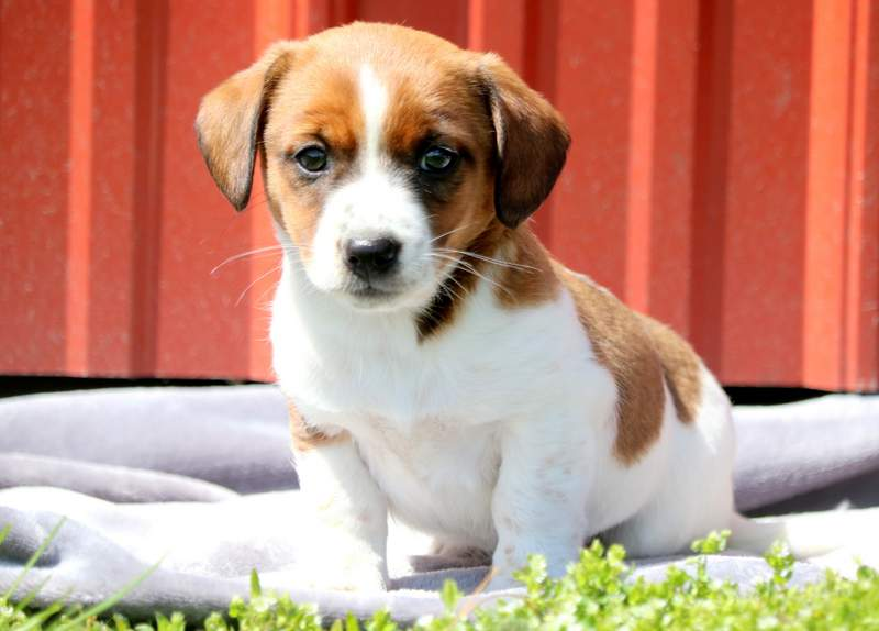 Trixie Jack A Bee Puppy For Sale Keystone Puppies