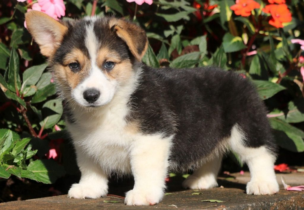 Mini Corgi Puppies For Sale >> Pembroke Welsh Corgi Puppies For Sale Puppy Adoption