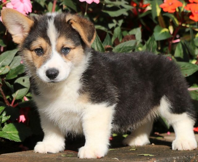 Welsh Corgi Mix Puppies For Sale Puppy Adoption Keystone Puppies