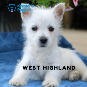 west-highland-terrier-healthy-responsibly-bred-Pennsylvania