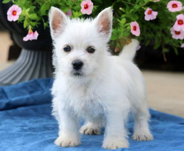 Westiepoo Puppies For Sale | Puppy Adoption | Keystone Puppies