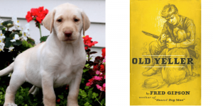 yellow-lab-old-yeller-healthy-responsibly-bred-Pennsylvania