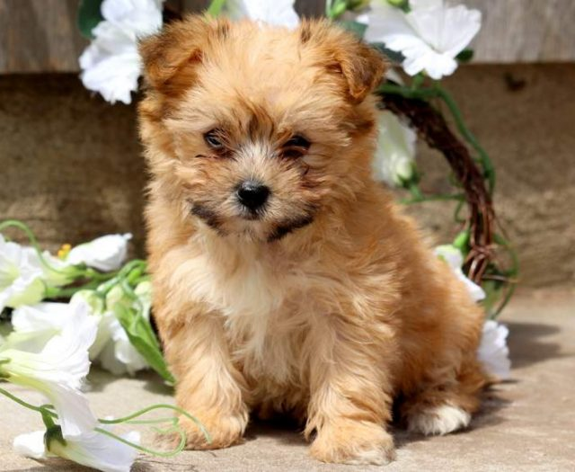 Yorkie Mix Puppies For Sale Puppy Adoption Keystone Puppies