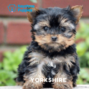 yorkshire-yorkie-terrier-healthy-responsibly-bred-Pennsylvania