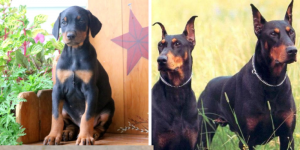 doberman-healthy-responsibly-bred-Pennsylvania