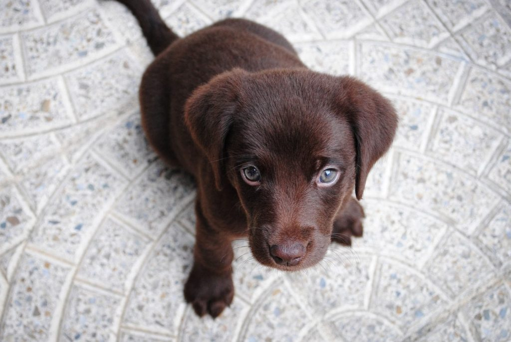 Finding Reputable, Certified Dog Breeders with Keystone Puppies