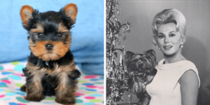 yorkshire-terrier-mignon-healthy-responsibly-bred-Pennsylvania