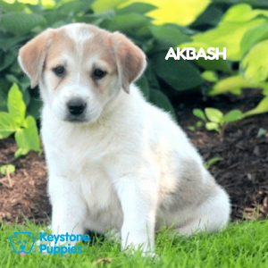 akbash-healthy-responsibly-bred-Pennsylvania