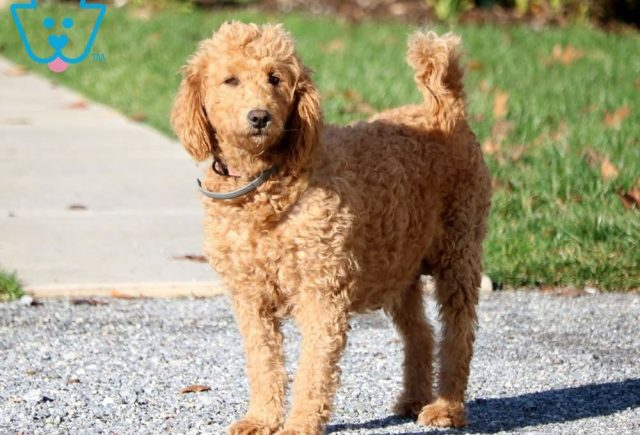 Dam - Amber - Mini Goldendoodle