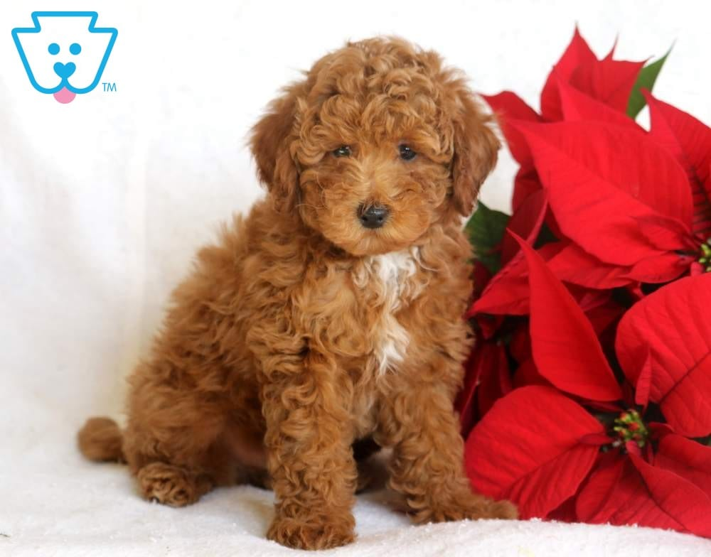 Archie | Labradoodle - Toy Puppy For Sale | Keystone Puppies