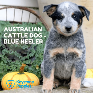 australian-cattle-dog-blue-heeler-healthy-responsibly-bred-Pennsylvania