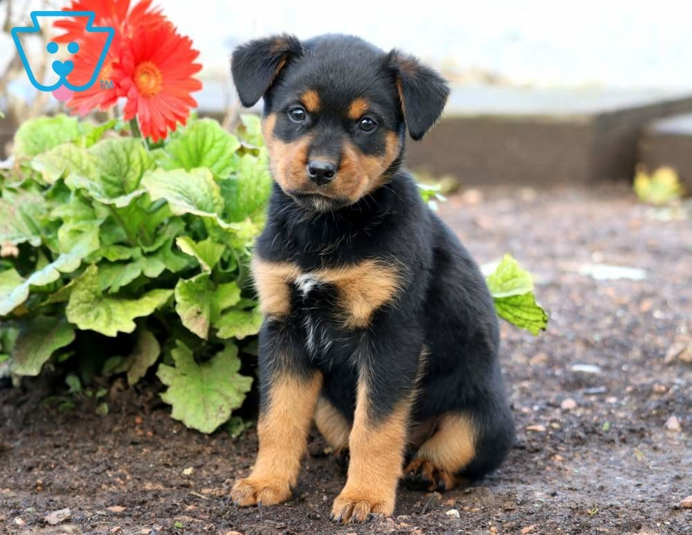 Baby Bop Rottweiler Mix Puppy For Sale Keystone Puppies
