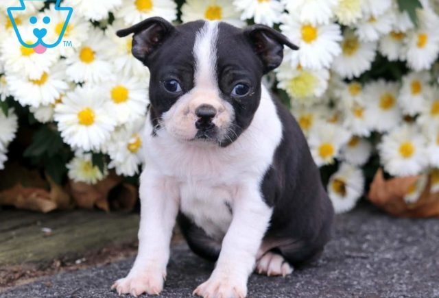 Baby-Doll-Boston-Terrier-Non-Sporting-Breed-Dog-AKC