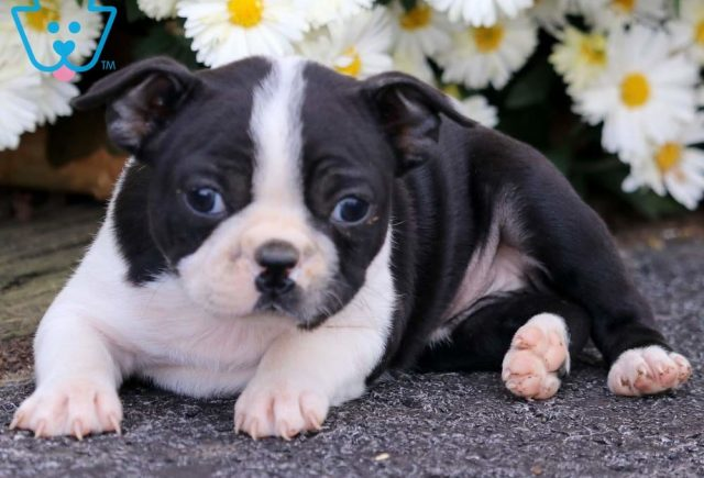Baby-Doll2-Boston-Terrier-Non-Sporting-Breed-Dog-AKC