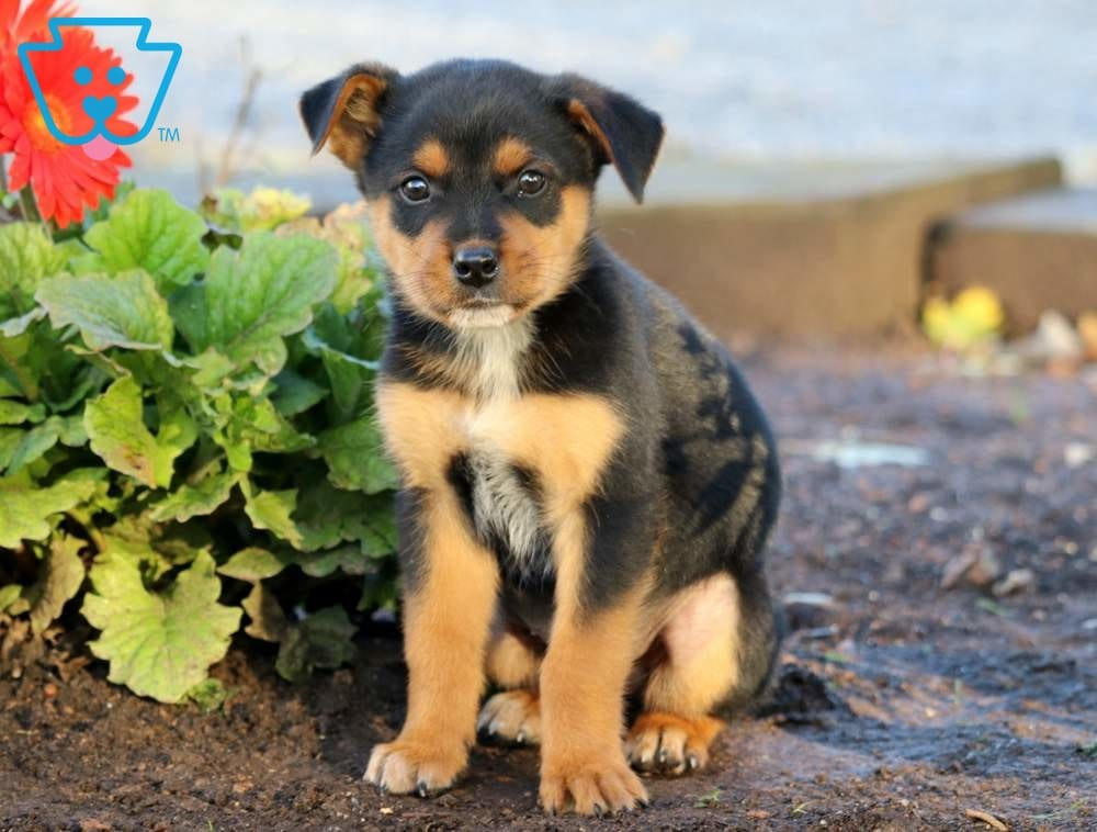 Barney | Rottweiler Mix Puppy For Sale | Keystone Puppies