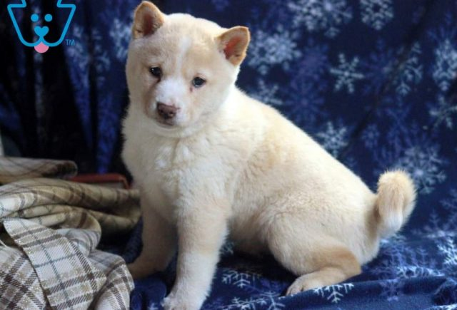 Bella-Shiba-Inu-Nonsporting-Dog-Breed-AKC