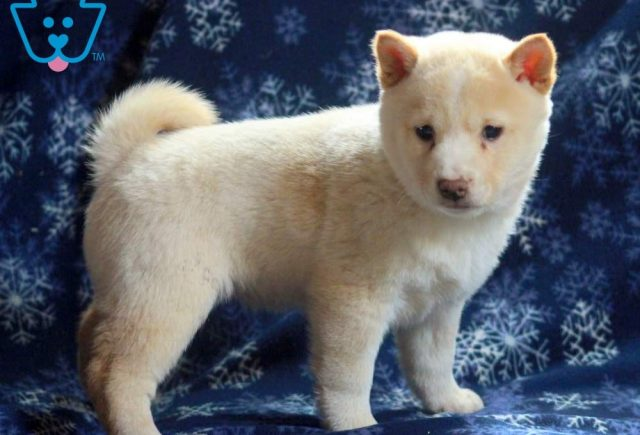 Bella2-Shiba-Inu-Nonsporting-Dog-Breed-AKC