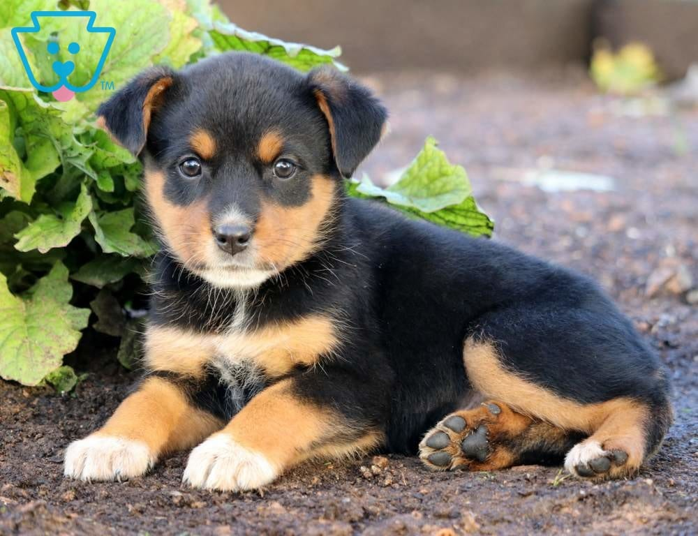 Blossom | Rottweiler Mix Puppy For Sale | Keystone Puppies