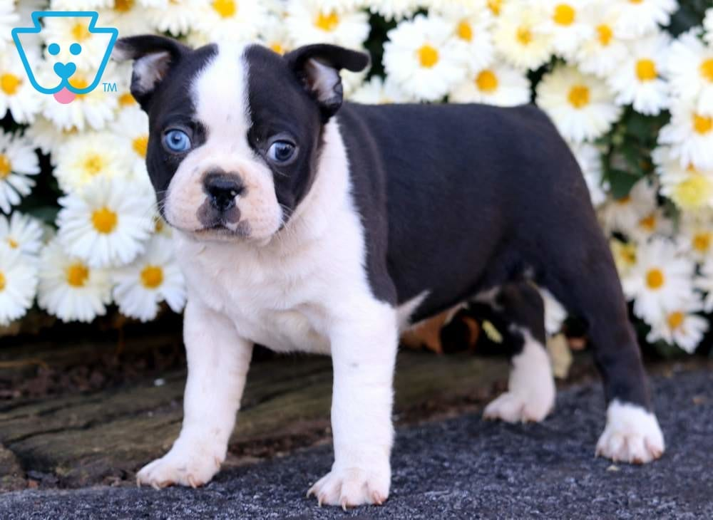 blue boston terrier puppies blue eyes boston terrier puppy for sale keystone puppies 2343