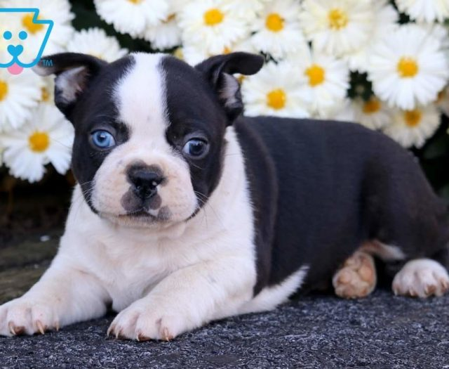 Blue Eyes Boston Terrier Puppy For Sale Keystone Puppies