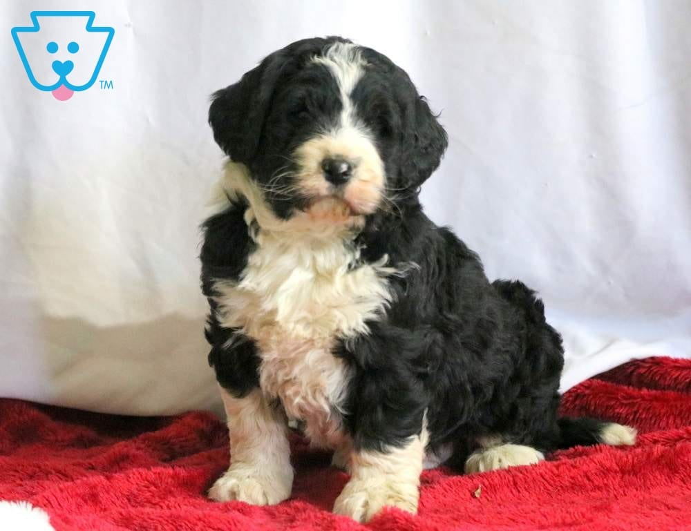 Boots Bernedoodle Puppy For Sale Keystone Puppies