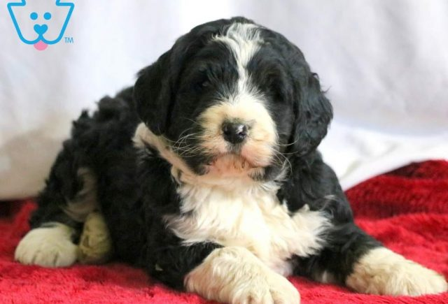Boots2-Bernedoodle-Designer-Breed-Bernese-Mountain-Dog-Poodle-ACHC-IDCR-ICA