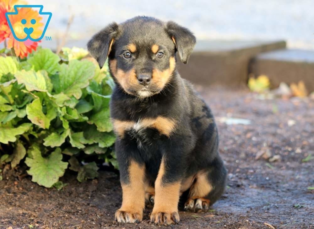 Boots | Rottweiler Mix Puppy For Sale | Keystone Puppies