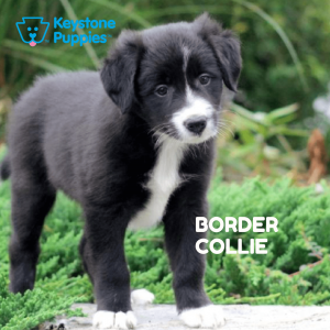 border-collie-healthy-responsibly-bred-Pennsylvania