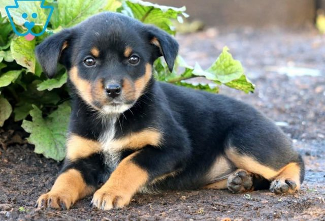 Breeze-Rottweiler-Mixed-Breed-Dog