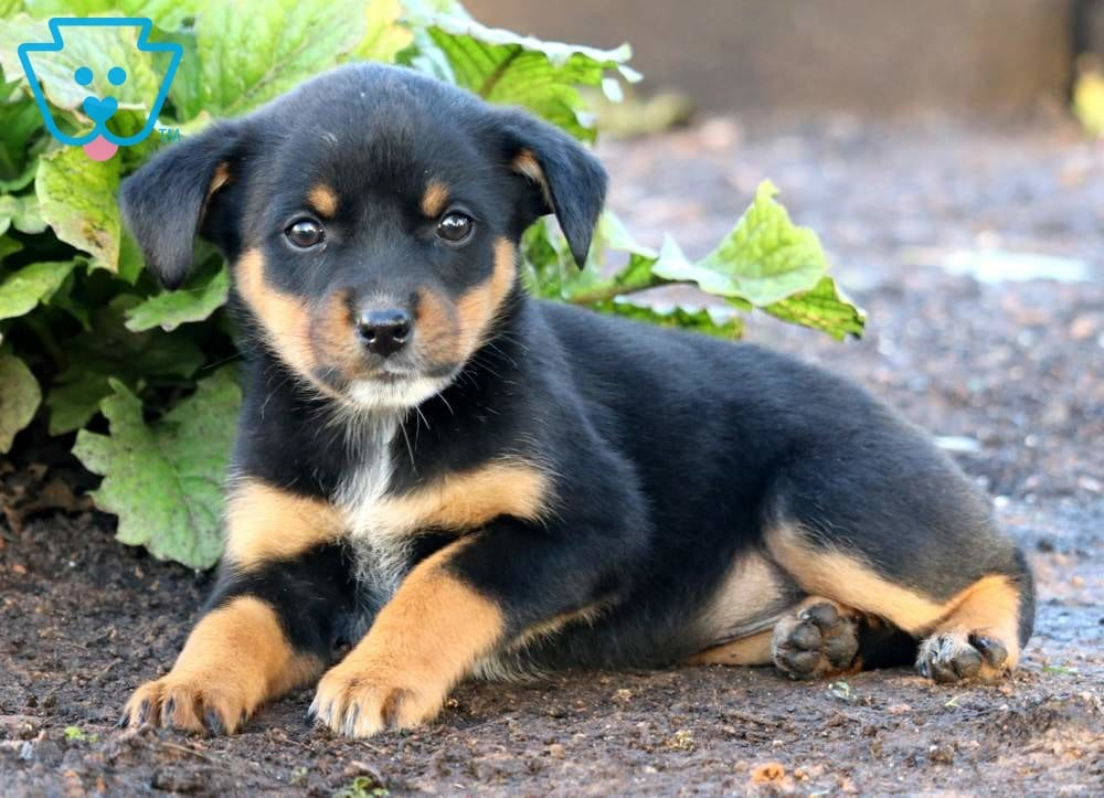 Breeze | Rottweiler Mix Puppy For Sale | Keystone Puppies