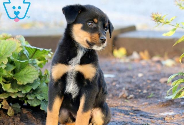 Breeze2-Rottweiler-Mixed-Breed-Dog