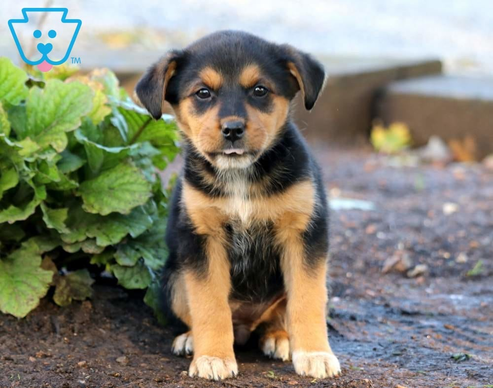 Bunny | Rottweiler Mix Puppy For Sale | Keystone Puppies
