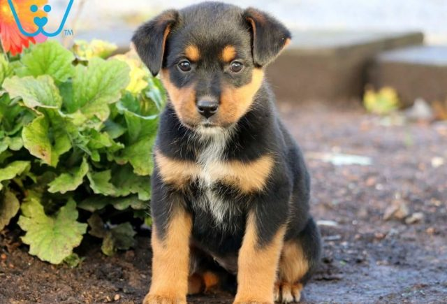 Butterfly-Rottweiler-Mixed-Breed-Dog