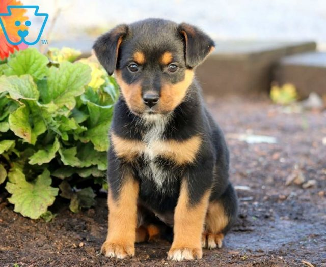 Butterfly Rottweiler Mix Puppy For Sale Keystone Puppies