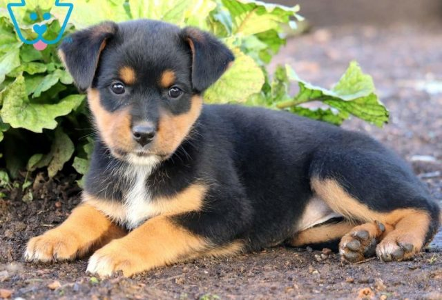 Butterfly2-Rottweiler-Mixed-Breed-Dog