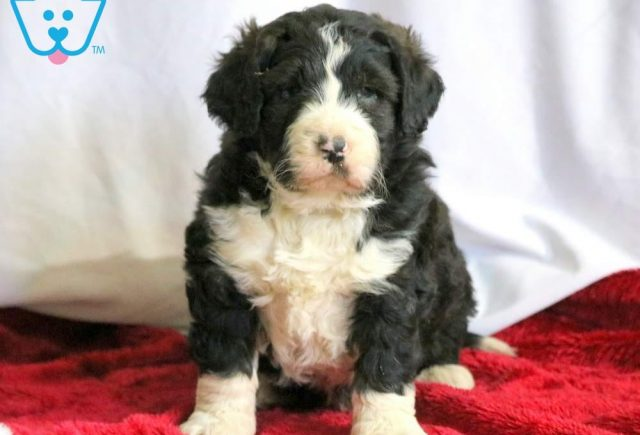 Buttons-Bernedoodle-Designer-Breed-Bernese-Mountain-Dog-Poodle-ACHC-IDCR-ICA