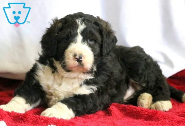 Buttons2-Bernedoodle-Designer-Breed-Bernese-Mountain-Dog-Poodle-ACHC-IDCR-ICA