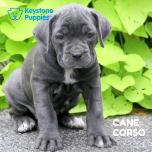 cane-corso-healthy-responsibly-bred-Pennsylvania