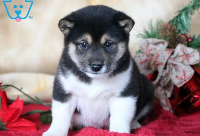 Cane-Shiba-Inu-Nonsporting-Dog-Breed-AKC