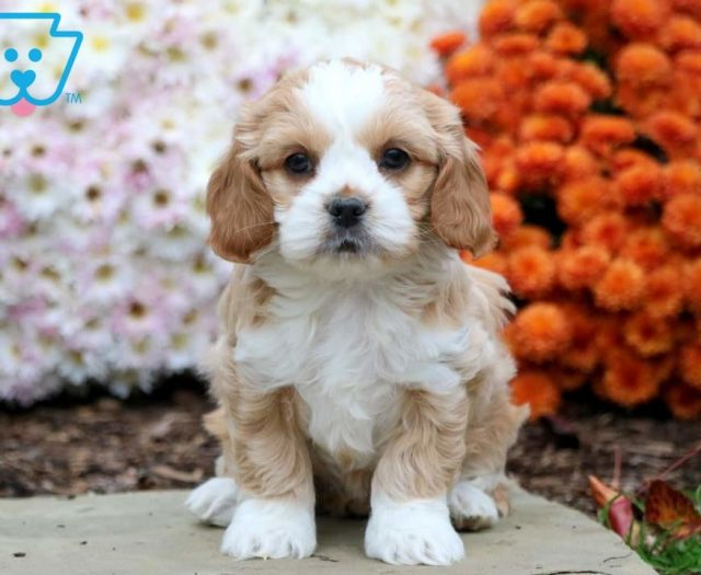 Care Bear Shih Tzu Mix Puppy For Sale Keystone Puppies