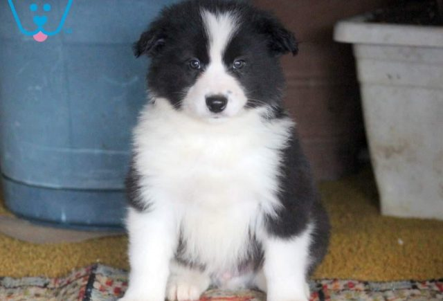 Champ-Border-Collie-Mixed-Breed-Dog