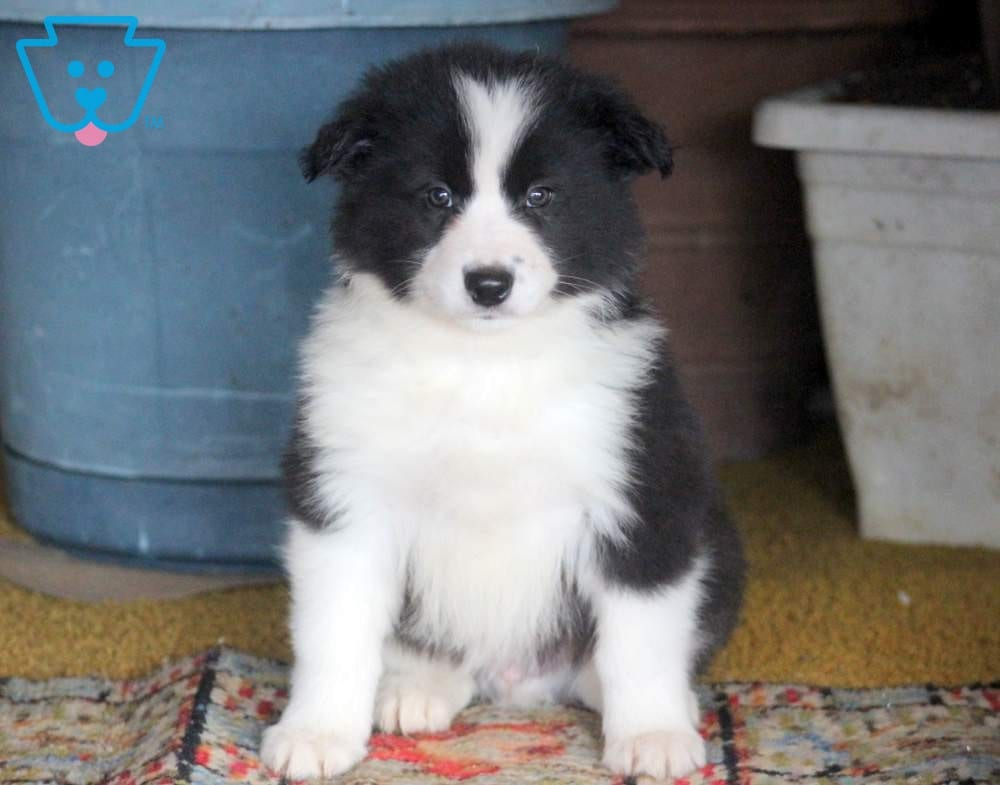 Border Collie Pug Mix Puppies Best Photos Of Border Imagedgeorg