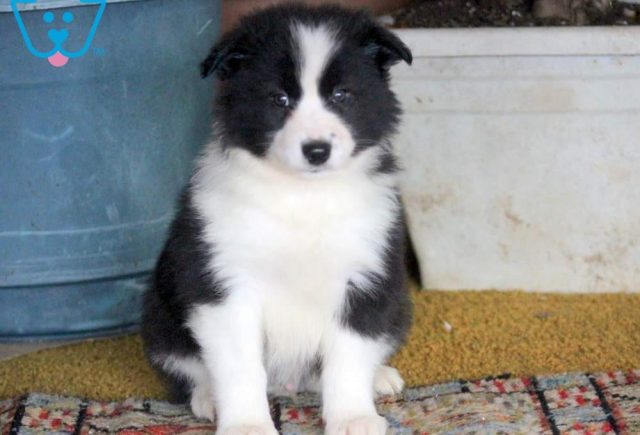Champ2-Border-Collie-Mixed-Breed-Dog