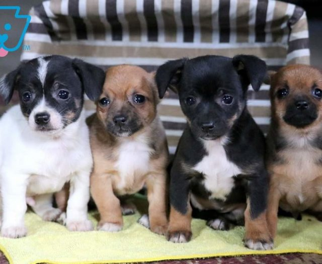 Mac Chihuahua Mix Puppy For Sale Keystone Puppies