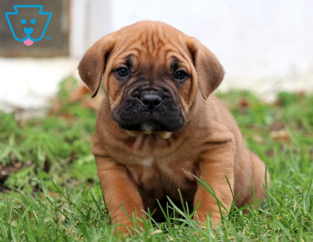 Dezzy Cane Corso Puppy For