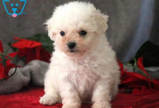 Dixie-Bichon-Frise-Non-Sporting-Dog-Breed-AKC